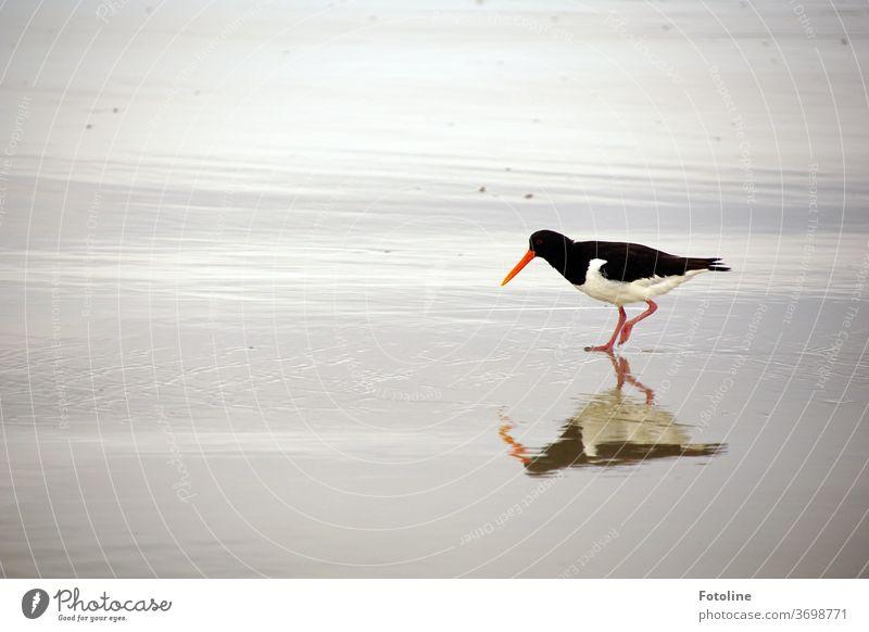 Ein Austernfischer sucht nach einem Leckerbissen und spiegelt sich dabei im nassen Sand Vogel schwarz weiß rot grau Tier Außenaufnahme Farbfoto Tag Wildtier