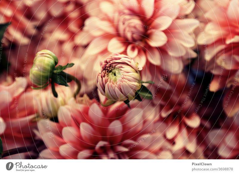 Sommerliche Blütenfest Blume Makroaufnahme Pflanze rosa Blatt, Blüten Blätter, Sommer, Flora, schön, Liebe