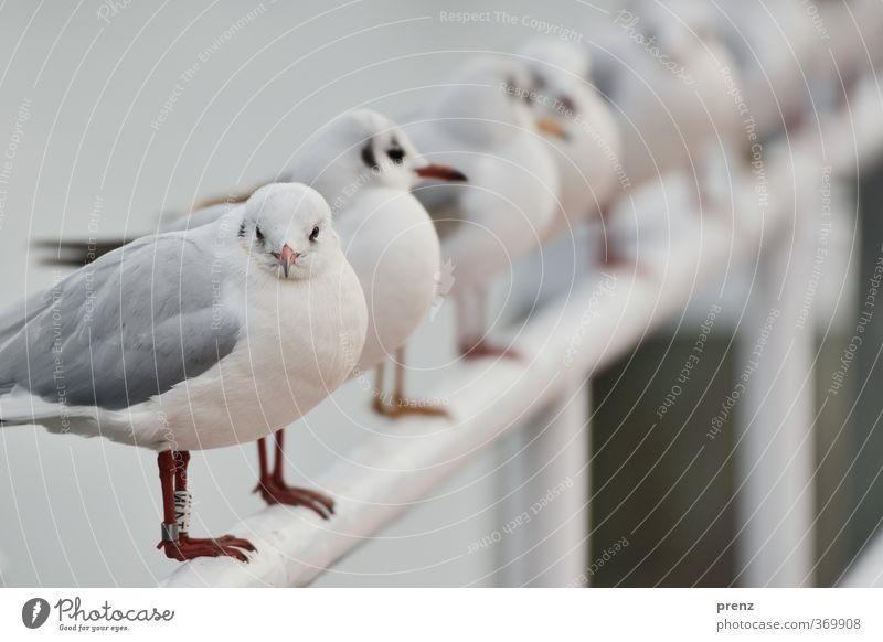 Möwenland Umwelt Natur Tier Wildtier Vogel 1 grau Reihe viele Farbfoto Außenaufnahme Textfreiraum oben Tag Schwache Tiefenschärfe Zentralperspektive Tierporträt
