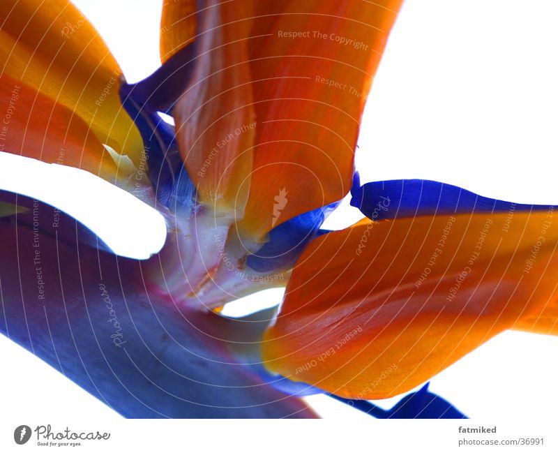 blume Blume blau orange