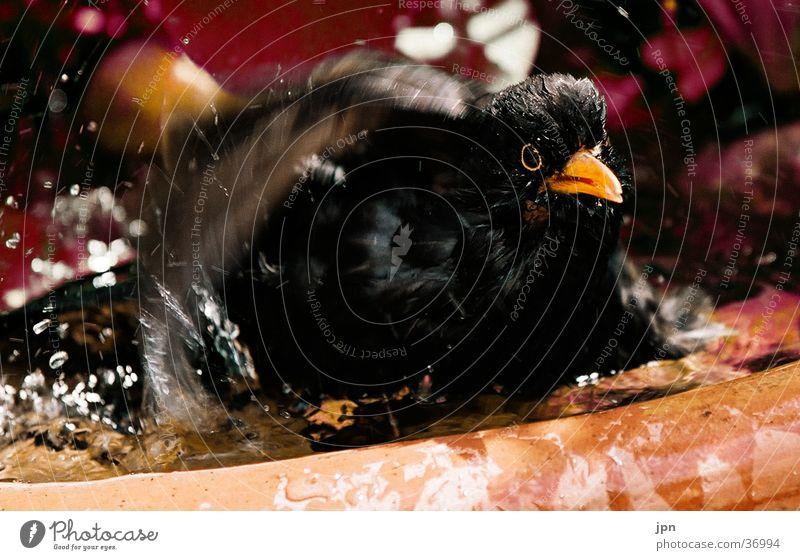 Sommerfrische Amsel Wasser Schwimmen & Baden spritzen Bewegung Flügel