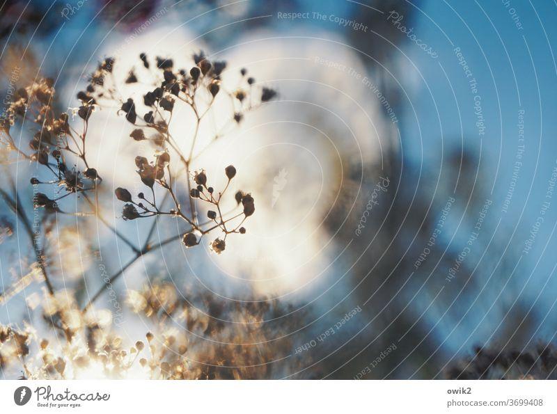 Feingliedrig Pflanze dünn klein zerbrechlich zart durchsichtig Gedeckte Farben Nahaufnahme Strukturen & Formen Detailaufnahme Kontrast Muster Schleierkraut