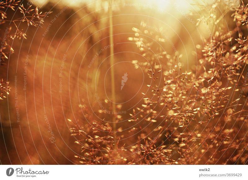 Warmer Abend Wiese Grashalme nah klein Nahaufnahme Natur Pflanze Außenaufnahme Halme Wachstum Schwache Tiefenschärfe Umwelt Makroaufnahme Froschperspektive