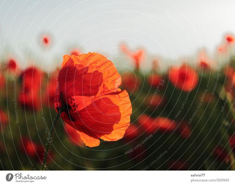 Mohn Natur Sommer Pflanze Farbe rot Wärme Blüte Stimmung Feld leuchten Warmherzigkeit weich Blühend Duft Wildpflanze Mohnfeld