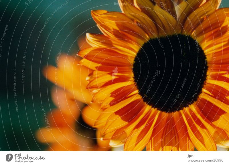 Sonnenlicht Sonnenblume Blume rot gelb Gegenlicht orange