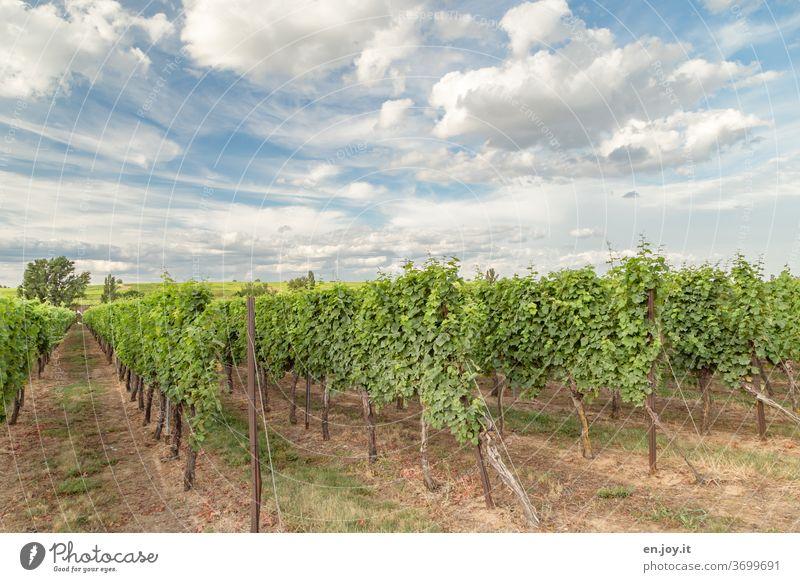 Weinreben in der Pfalz unter einem wunderschönen Wolken Himmel Reben Weinberg Rheinland-Pfalz Landwirtschaft Weinbau Weitwinkel Idylle grün Sommer