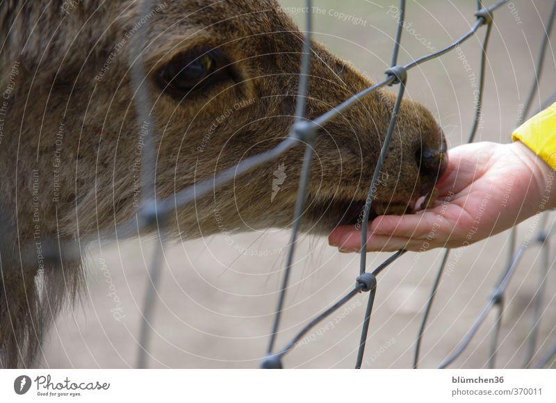 zutraulich Kind Hand Tier Wildtier Tiergesicht Zoo Hirschkuh Hirsche Sikawild Damwild berühren füttern schön klein Neugier Wachsamkeit Abenteuer Erholung Freude