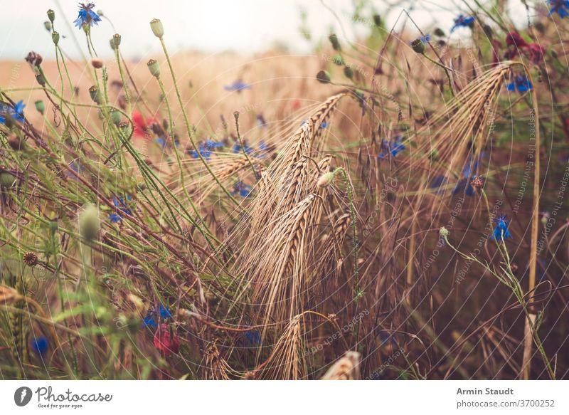 Nahaufnahme von Kornblumen in einem Weizenfeld Natur Feld Blume ländlich Sommer Pflanze blau Hintergrund schön Umwelt Roggen Sonnenlicht Vorbau natürlich