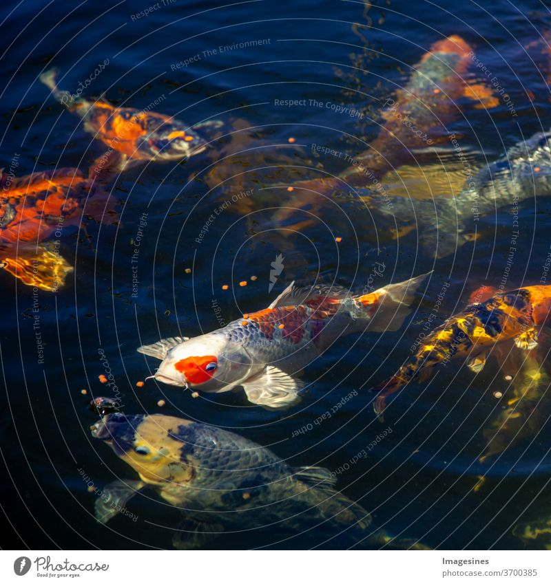 Japanischer Koi. Fische im Teich. Fischteich Kois bunt natur natürlich Hintergrund. Karpfen Koi - Karpfen Direkt von oben Draufsicht Tier Farbfoto Außenaufnahme