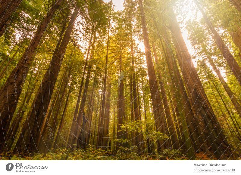 Riesenmammutbäume im Redwood Forest National and State Park, Kalifornien Wald Sequoia Mammutbäume Tourismus Nationalpark Riesenwald Landschaft Pflanze im Freien