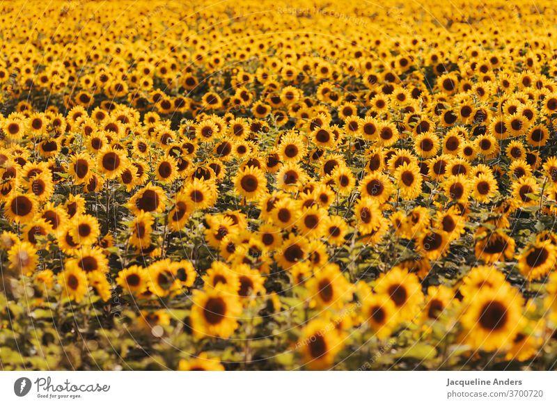 riesiges Sonnenblumenfeld im Abendlicht sonnenblumen blumenmeer blühen landschaft sonnenuntergang abendlicht natur unzählige gelb blätter blüte blütezeit sommer