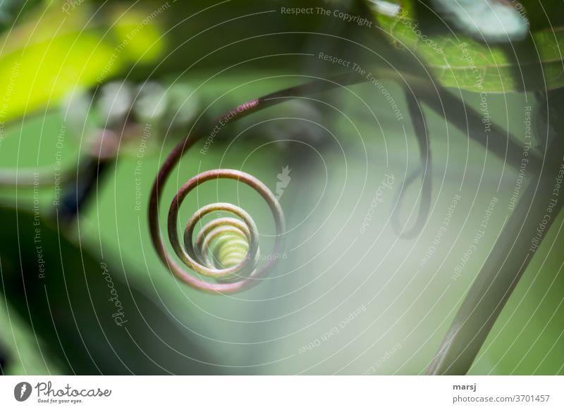 Um sich selbst drehendes Pflanzenteil Sprossranke Spirale Ranke selbstzentriert egozentrisch Pflanzenteile Stil elegant geheimnisvoll spiralförmig Kringel