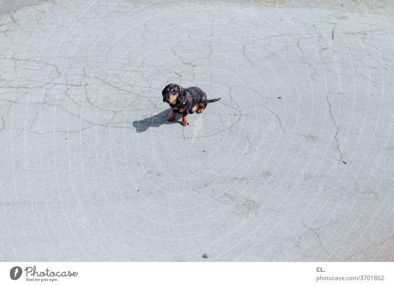 carlson (nicht angeleint) Hund Dackel niedlich klein Haustier Tier Tierliebe warten sitzen brav einganzeinfeiner Menschenleer Außenaufnahme