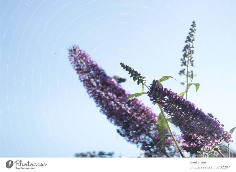 Sommerflieder vor strahlend blauem Himmel im Sommer.Garten garten pflanze sommer Natur Blüte Lila blühen violett schön