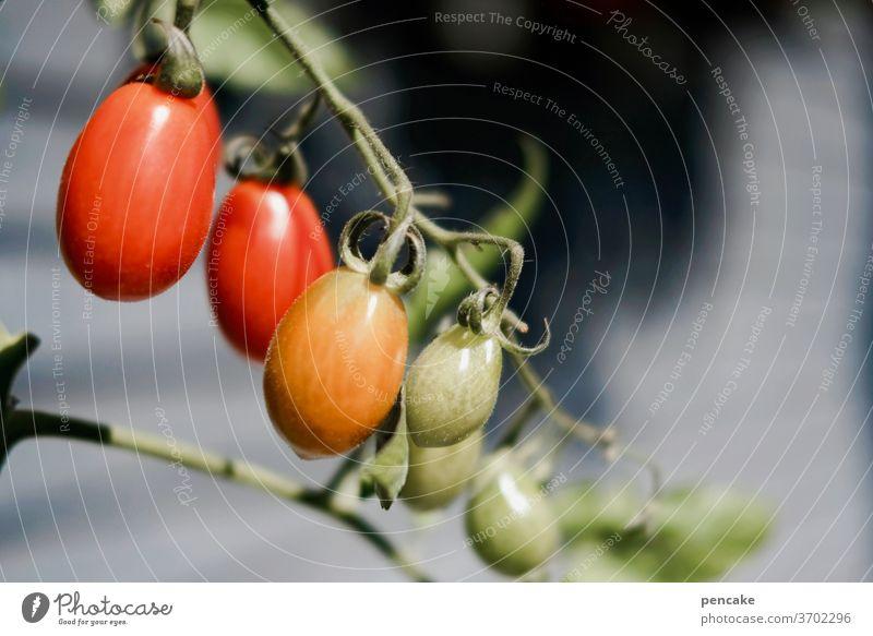 reifeprüfung Tomaten hängen Rispe Sonne Sommer Gemüse Garten gesund Ernährung wachsen Rispentomate Pflaumentomate reifen Bioprodukte Gesunde Ernährung frisch