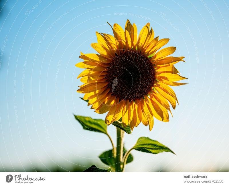 Sonnenblume Sonnenblumenfeld Natur Landschaft Feld gelb blau Blütezeit bluten Himmel Blühend Pflanze grün Blumen Ferien & Urlaub & Reisen Sommer Ackerbau