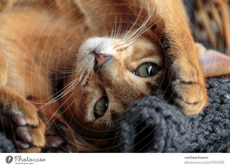 Lusia Katze Lifestyle Tiergesicht Tierjunges Blick friedlich Freude weich braun Blick nach vorn Blitzlichtaufnahme Farbfoto warten Neugier Nahaufnahme
