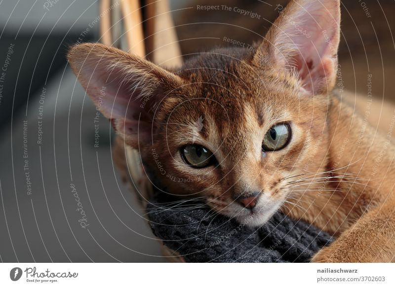 Lusia Katze Katzenbaby Tierporträt lustig niedlich Niedlichkeit Topf Geschirr Hauskatze Studioaufnahme Studiobeleuchtung rot rothaarig Abessinier