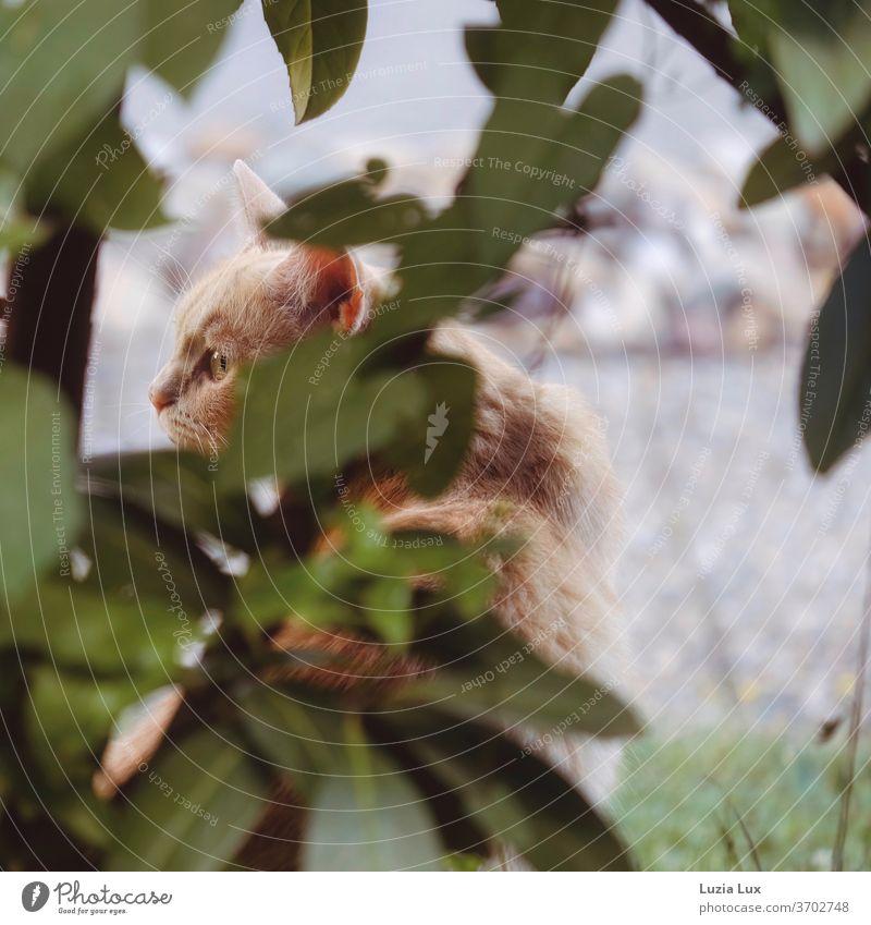 Ein roter Kater mit sehr grünen Augen auf seinem Beobachterposten hinter grünen Blättern Tiger Lauer lauernd beobachtend Gebüsch grünes Laub Tier Tierporträt