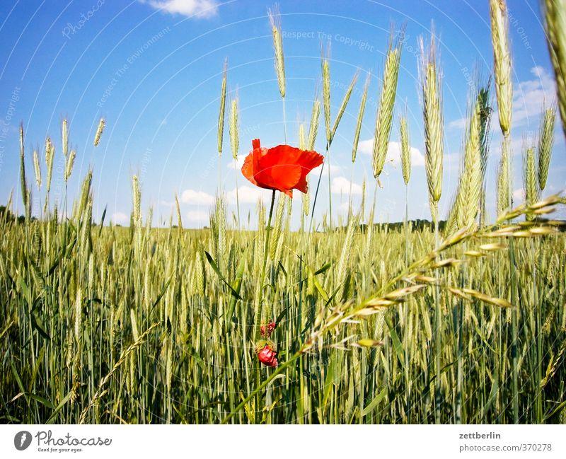 Mohn Himmel Natur Ferien & Urlaub & Reisen schön Sommer Pflanze Landschaft Wolken Umwelt Blüte Feld Klima Schönes Wetter gut Getreide Dorf