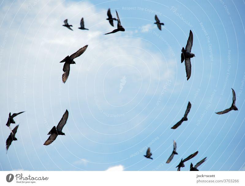Schwärmerei ohne Ende fliegen Schwarm Taube Einigkeit Leichtigkeit Wolkenloser Himmel achtsam Leben Formation Vogelschau Formationsflug Vogelflug Richtung