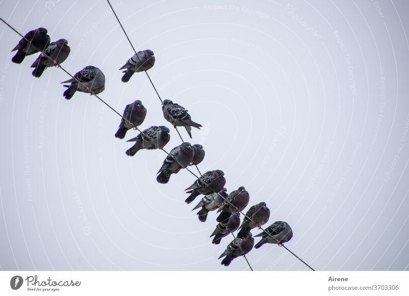 dynamisch | Platzverteilung Taube sitzen Silhouette Draht Stromkabel Kabel Oberleitung Tauben Vögel Schwarm Vogelschwarm Taubenschwarm ausruhen Gruppe