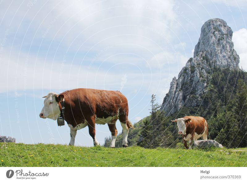 AST6 Inntal | Q-walk... Umwelt Natur Landschaft Pflanze Himmel Wolken Frühling Schönes Wetter Gras Wiese Berge u. Gebirge Gipfel Tier Nutztier Kuh 2 Kuhglocke