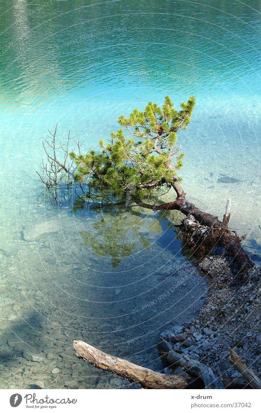 baum im see See Baum Frühling Dolomiten Gebirgssee nadelholz