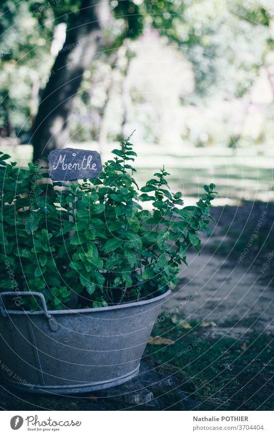 Pfefferminzfuß im alten Becken gepflanzt mit Etikett Minze Bepflanzung Aromatherapie Topf Antiquität kennzeichnen Erde aromatisch Garten frisch Geschmack