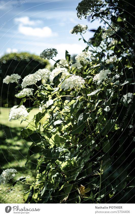 Wunderschöner Garten im Sommer mit weißen Hortensien Blume Bäume Blumenbeete Gartenarbeit Gras außerhalb Frühling Saison Pflanze Park Landschaft Gärtner