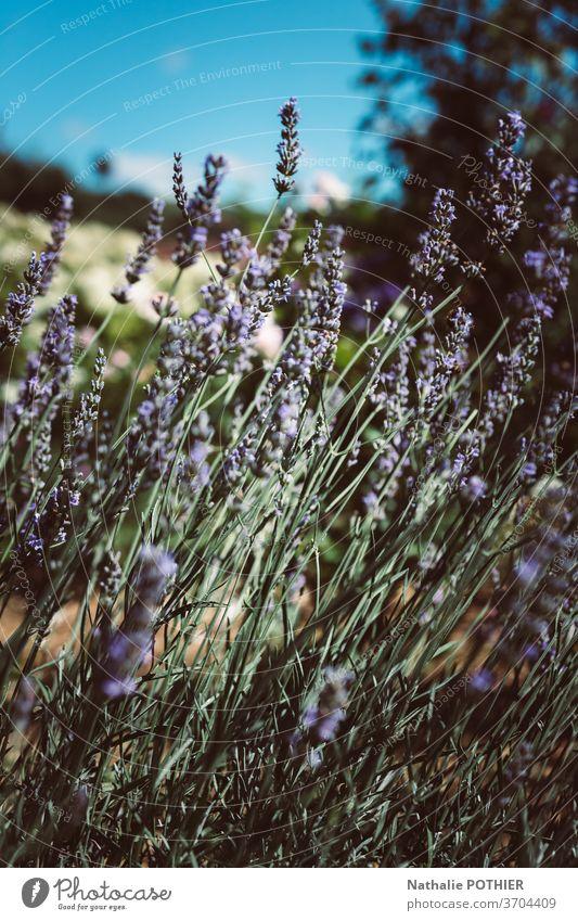 Landschaft mit Lavendel im Sommer und verschwommenem Hintergrund Unschärfe purpur Nahaufnahme Blume Europa Provence außerhalb Pflanze lebhaft Therapie bunt