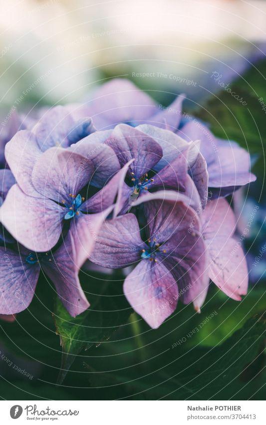 Rosa und violette Hidrangea im Garten im Sommer Hortensie Blume Blumen Blütenblätter farbenfroh Blütezeit purpur Blätter Nahaufnahme Hortensien pulsierend