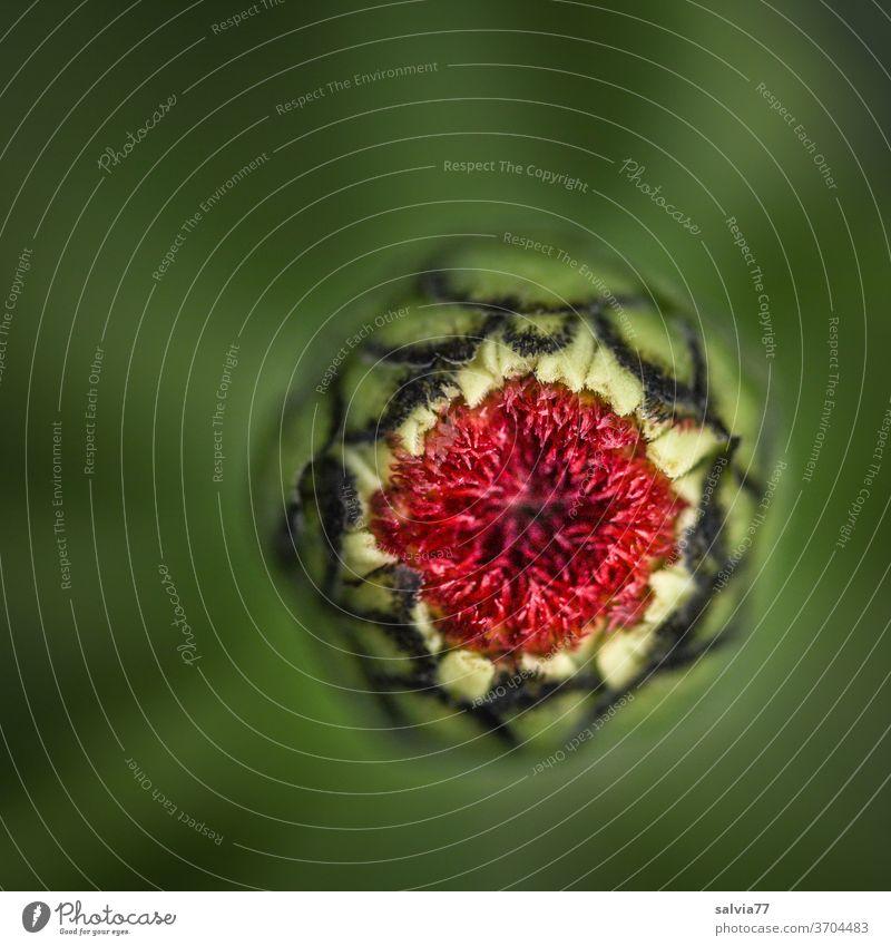 Blütenöffnung einer Zinnie aus der Vogelperspektive Natur Knospe Makroaufnahme Blume Pflanze Nahaufnahme Garten wachsen Schwache Tiefenschärfe natürlich