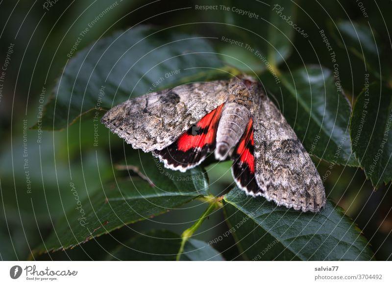 Nachtfalter zeigt rot Schmetterling Rotes Ordensband Insekt Catocula nupta Natur Muster Abschreckung Kontrast Flügel Tier Makroaufnahme Tierporträt