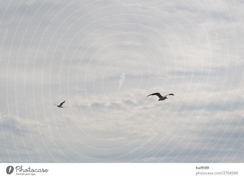 die Möwen fliegen aneinander vorbei Möwenvögel Schwarm Himmel Wolken Vogel Wildtier Tier Tiergruppe Freiheit Küste Wildvogel seevogel Meer Flügel Ostsee Nordsee