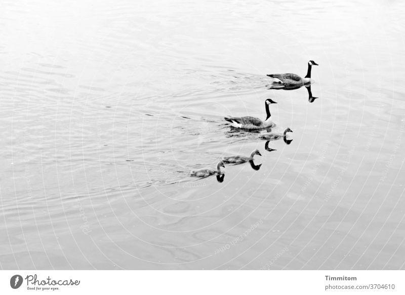 Fünf Wasservögel - 10 Köpfe Vogel Wasservogel Kanadagans 5 schwimmen Bodensee Spiegelung Spiegelung im Wasser Reflexion & Spiegelung See Wellen Tier