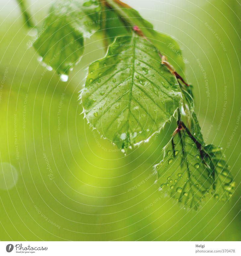 Helgiland | Mairegen... Umwelt Natur Pflanze Wassertropfen Frühling schlechtes Wetter Regen Baum Blatt Buchenblatt Zweig Wald hängen ästhetisch authentisch