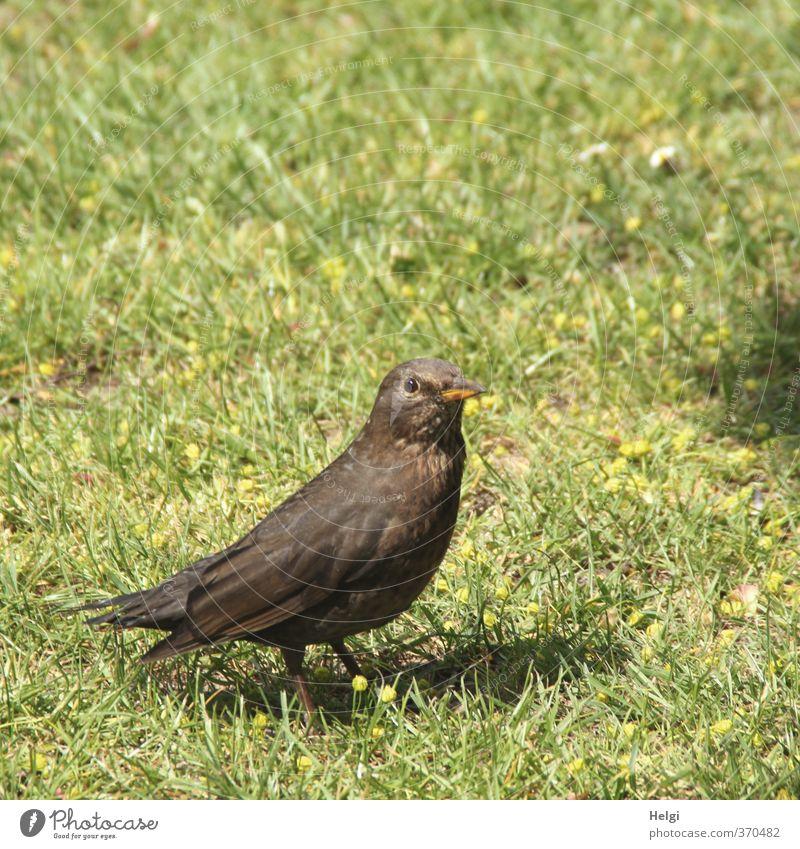 Helgiland | Frau Amsel... Umwelt Natur Pflanze Tier Frühling Garten Wiese Wildtier Vogel Drossel Singvögel 1 beobachten Blick stehen warten authentisch klein