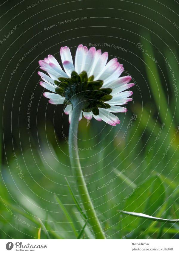 Gänseblümchen blume blumen wiese blumenwiese blüte blüten natur Bellis perennis. Bellis Maßliebchen Tausendschön margritli