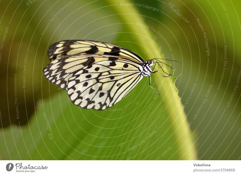 Weiße Baumnymphe baumnymphe schmetterling falter insekt tagfalter Idea leuconoe edelfalter tier nahaufnahme makro tierportrait