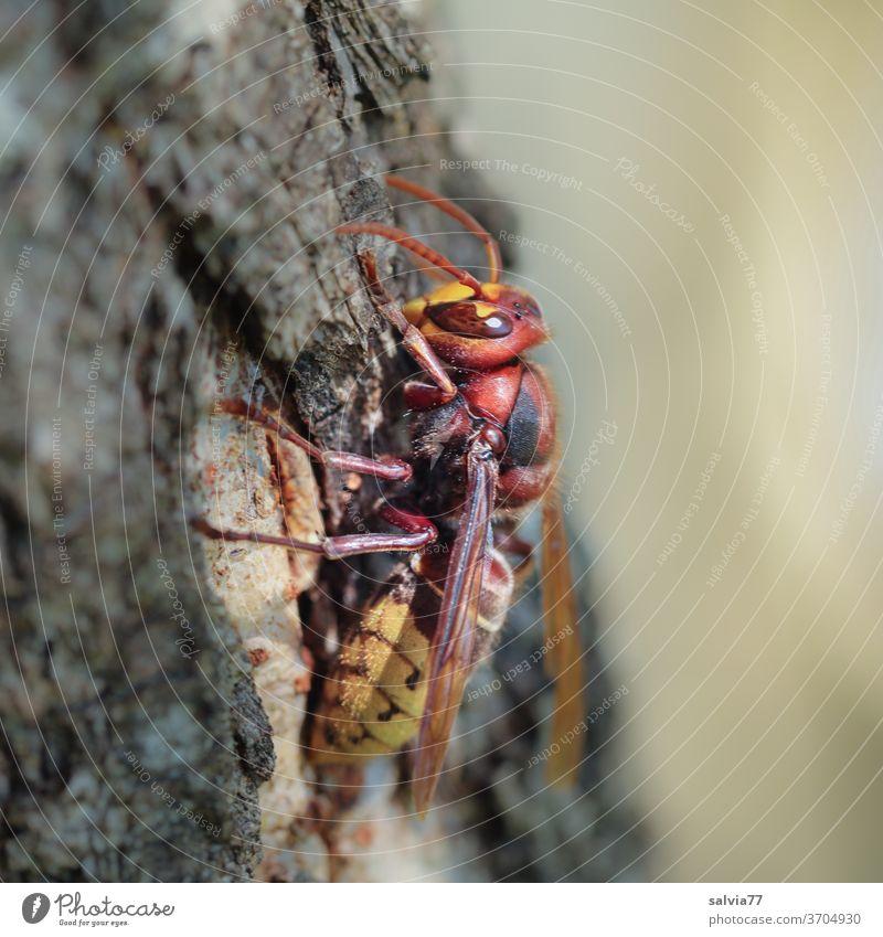 Hornisse ganz nah Wespe Vespa Insekt Makroaufnahme Natur Rinde Baum Nahaufnahme Tier Schwache Tiefenschärfe 1 Flügel Tierporträt Fühler Facettenauge
