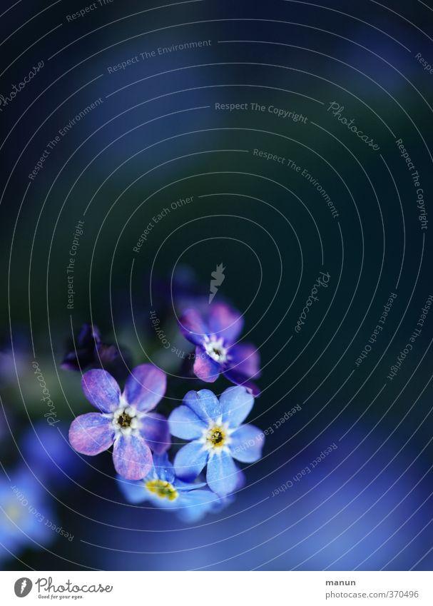 vergissmeinnicht Valentinstag Natur Blume Vergißmeinnicht Freundschaft Verliebtheit Treue Romantik Farbfoto Menschenleer Textfreiraum oben Kontrast