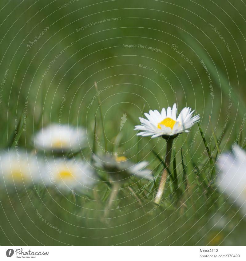 Here I am... Natur grün schön weiß Sommer Pflanze Blume ruhig Umwelt gelb Wiese Gras Frühling klein Blüte Garten