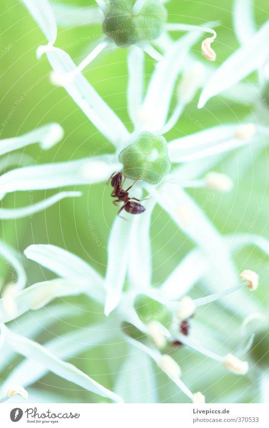 Alleingang Umwelt Natur Pflanze Tier Sommer Blume Blatt Blüte Nutzpflanze Garten Park Wiese Blühend Duft krabbeln leuchten frisch hell schön klein natürlich