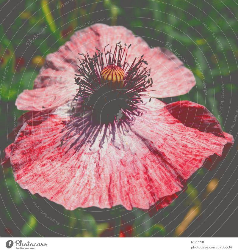Seidenmohnblüte Shirley geöffnet Papaver Rhoeas Mohn Klatschmohn rot weiß Staubgefäße Blütenblätter einjährig Multicolor Farbspiel Kulturform Ziermohn Blume