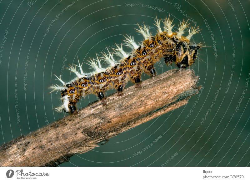 Illar der Papilionidae im Kopfast Sommer Garten Natur Weiche Behaarung wild blau braun gelb grau grün schwarz Farbe Raupe Ritterfalter Italien Holz Fleck Insekt