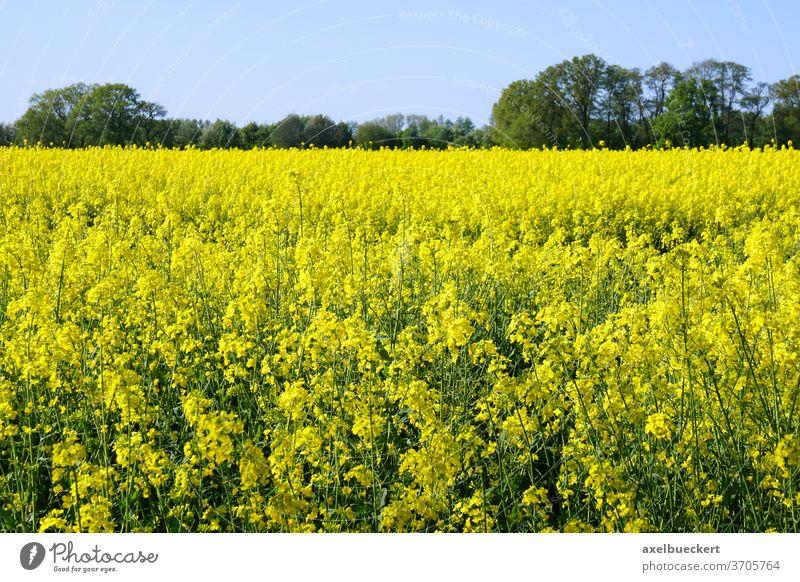 Raps oder Rapsfeld Feld gelb Landwirtschaft Ackerbau Pflanze ländlich Landschaft Ackerland Frühling Natur Blume Ernte Bauernhof Blüte Horizont Blütezeit Flora