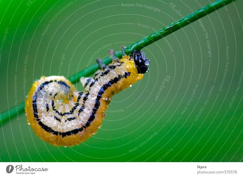 Raupe der Papilionidae im Kopfast fe Sommer Garten Natur Pflanze Weiche Behaarung Tropfen wild blau braun gelb grau grün schwarz Farbe Ritterfalter Italien Holz