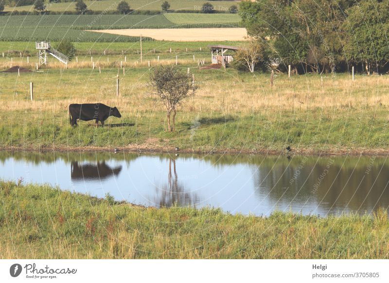 Idylle auf dem Land - schwarze Kuh auf einer Wiese an einem kleinen See mit Spiegelung Landschaft Natur ländlich Tier Außenaufnahme Weide Landwirtschaft Rind