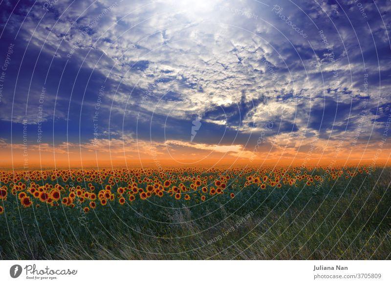 Sonnenblumenfeld bei Sonnenuntergang.Landschaft von einer Sonnenblumenfarm.Agrarlandschaft.Sonnenblumenfeldlandschaft.Orangefarbener Naturhintergrund.Feld blühender Sonnenblumen auf einem Sonnenuntergangshintergrund.Grußkarte Argikulturkonzept.Kunstfotografie.Künstlerische Tapete.